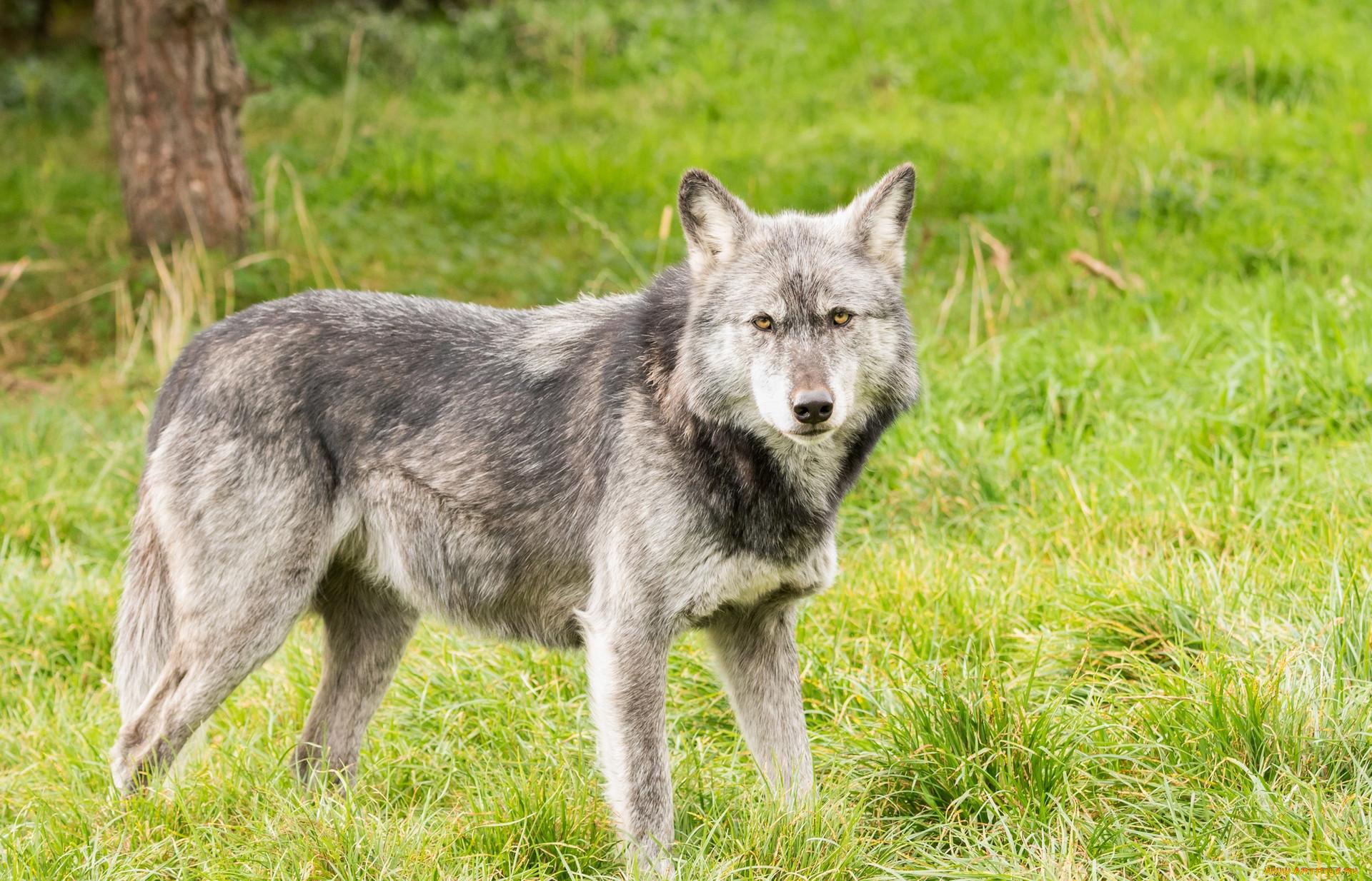 Животные картинки волка